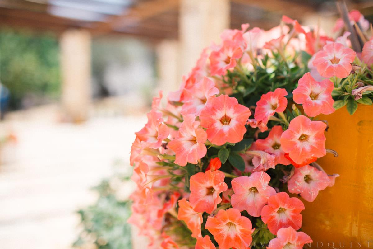 Färgglad rosa orange blomma på Manousakis Winery, Chania - Kreta. Foto: Tove Lundquist, fotograf Malmö.