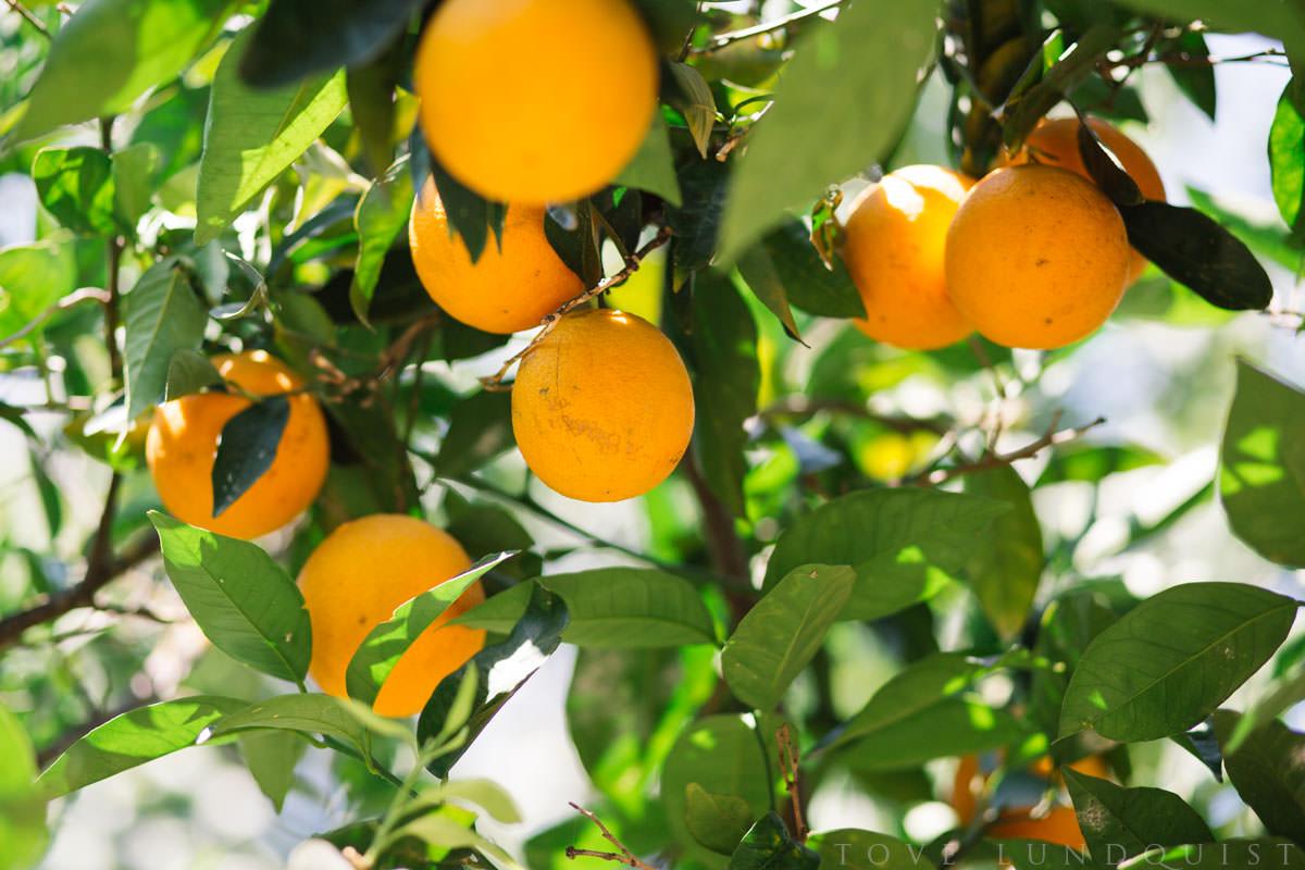 Apelsinträd på Manousakis Winery, Chania - Kreta. Foto: Tove Lundquist, fotograf i Malmö.